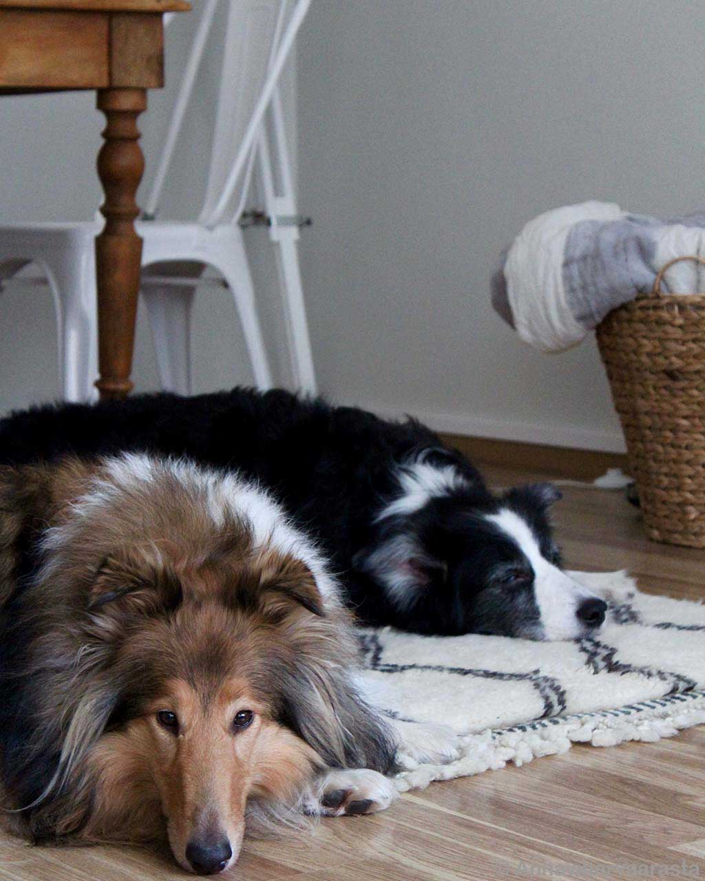 black and brown dogs traditional carpet